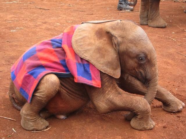 Orphaned Baby Elephant in Kenya