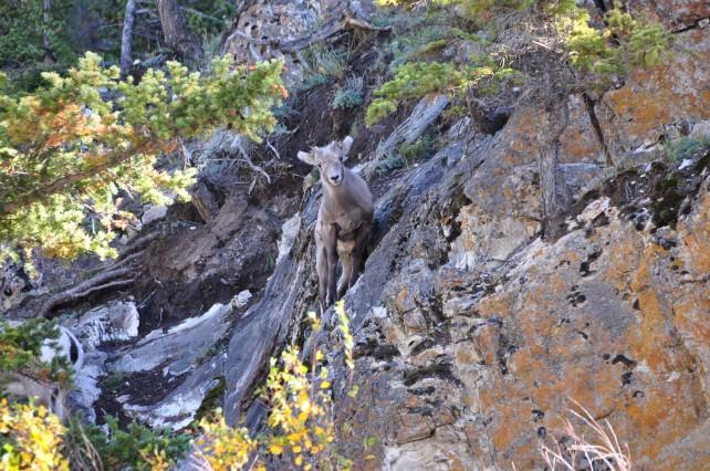 Baby Sheep Climbing Rocks