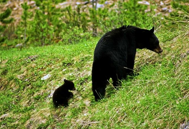 Black Bear Mom with Cub