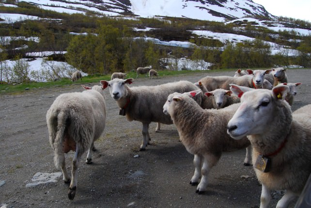 Only Us and Sheep on the National Tourist Route
