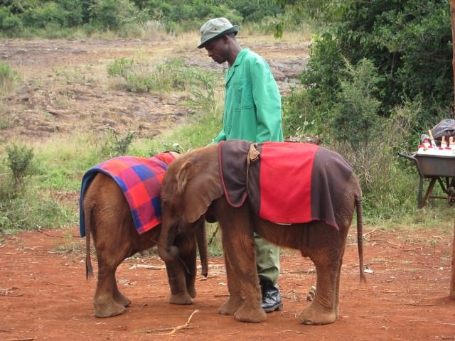 Orphan Elephants and Their Keeper