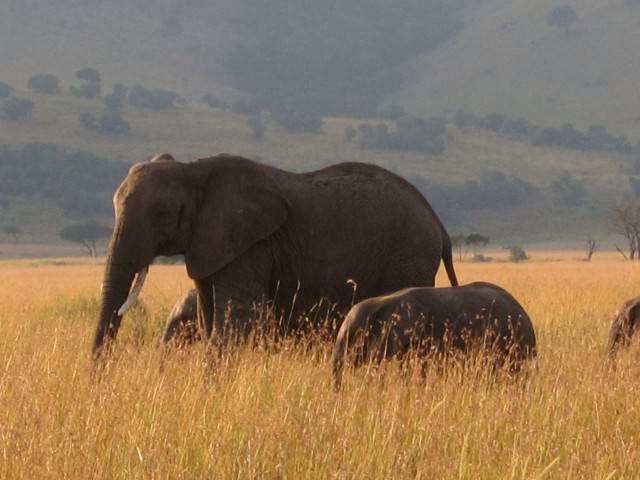 Viewing Elephants While on Safari
