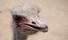 Travel Tip: Curacao Ostrich Farm – This Place Is For The Birds!
