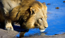 Travel Deal: Lion World Tours Luxury Botswana Safari