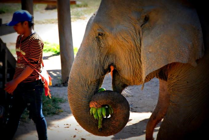 Elephant at Elephant Nature Park near Chiang Mai
