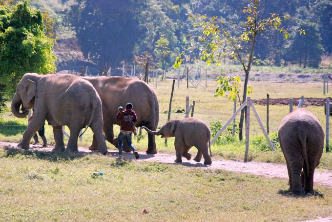 Elephants with Mahout at Elephant Nature Park