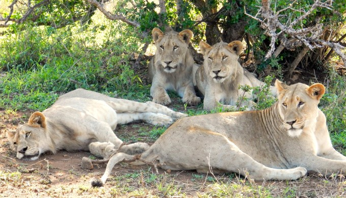 Lions at Phinda Private Game Reserve