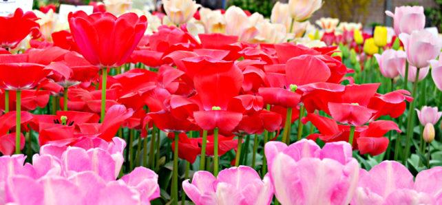 Tulips at Keukenhof Gardens in Holland