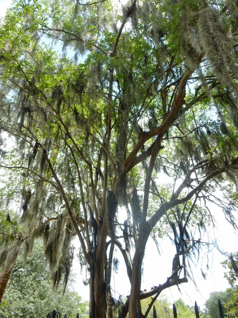 Live Oak and Spanish Moss