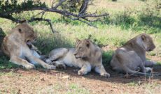 Lions Resting in the Shade at Phinda Private Game Reserve