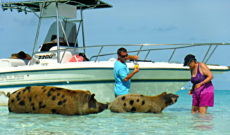 Piggy Excursion in The Bahamas