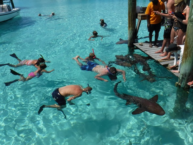 Swimming with nurse sharks at Compass Cay
