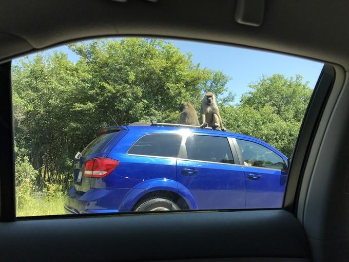 Ontario African Lion Safari - Baboons on a car.