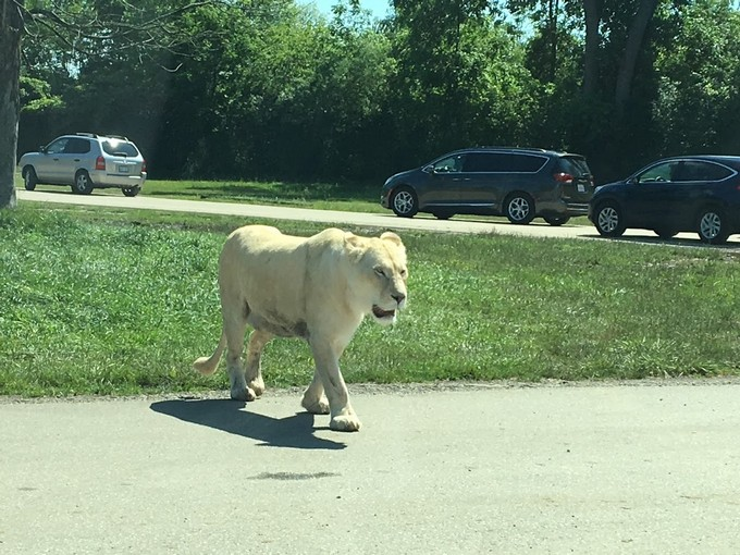 Ontario African Lion Safari - White Lion