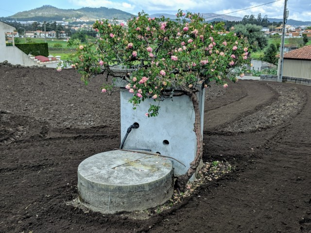 Roses on the Camino Portuguese